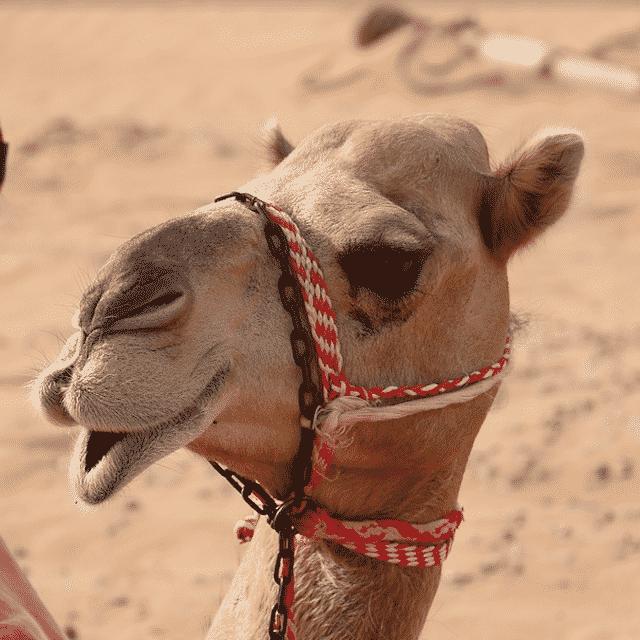 Dromadaire dans le Désert - Voyage Abu Dhabi
