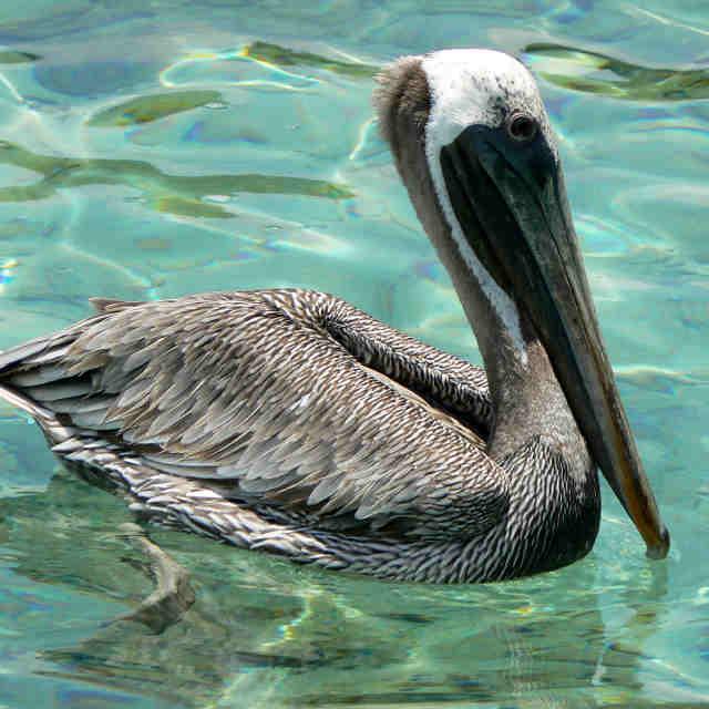 colombie-pelican-cartagena