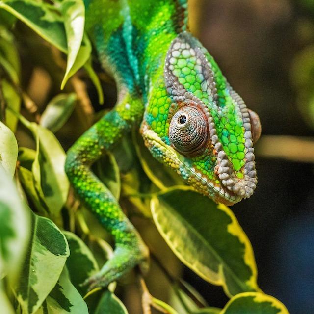 Caméléon - Voyage Costa Rica