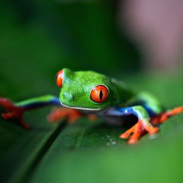 Grenouille- Voyage Costa Rica