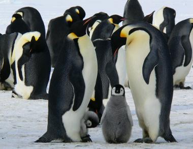 Manchots - Voyage Antarctique