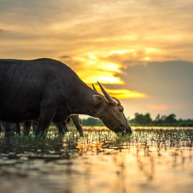 Buffle d'eau - Voyage Laos