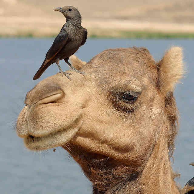 Oman-dromadaire