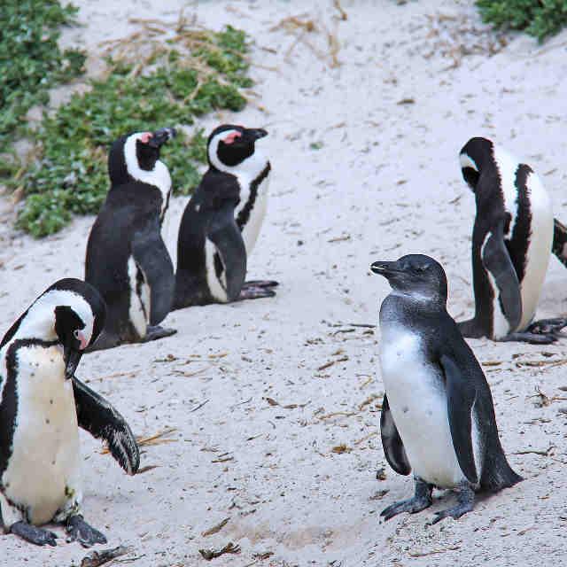pingouins-afrique-du-sud
