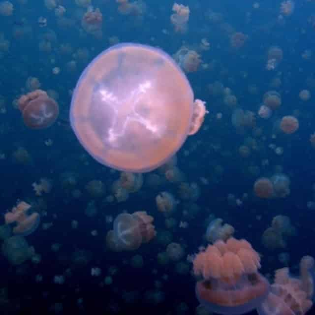 Méduses - Séjour Îles Carolines, Voyage Palaos
