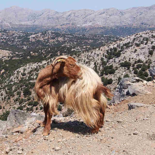 chevre-crete-grece