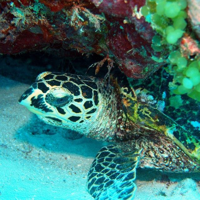 tortue-plongee-fidji