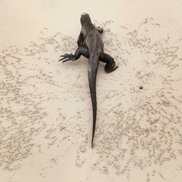 varan-galapagos-equateur